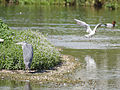 Heron (14193850708).jpg