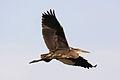 Heron - Stanborough Lakes August 2009 (3863389288).jpg