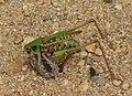 Heuhupfer (Grasshopper) - geo.hlipp.de - 39264.jpg