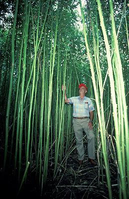 Kenaf-Pflanze