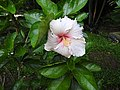 Hibiscus rosa sinensis hybrid-12-hanuman temple-muluvi-yercaud-salem-India.jpg