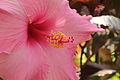 Hibiscus sp.-IMG 5512.jpg