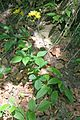Hieracium murorum 2.jpg