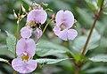Himalayan Balsam or Poor Man's Orchid and bee - Llandow - geograph.org.uk - 1426260.jpg