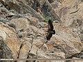 Himalayan Griffon (Gyps himalayensis) (48988725012).jpg