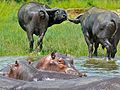 Hippos and Buffaloes (6861595369).jpg