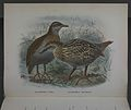 History of the birds of NZ 1st ed p164-2.jpg