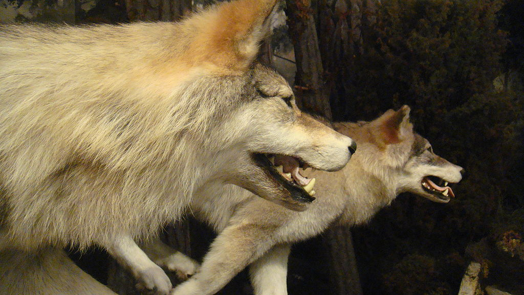 Loups dans le Musée National d'Ecosse à Edimbourg.