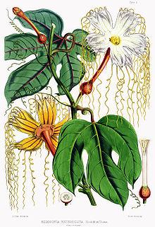 https://upload.wikimedia.org/wikipedia/commons/thumb/7/74/Hodgsonia_heteroclita_female.jpg/220px-Hodgsonia_heteroclita_female.jpg
