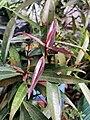 Hojas de Syzygium jambos.jpg