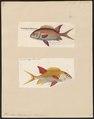 Holocentrum longipinne - - Print - Iconographia Zoologica - Special Collections University of Amsterdam - UBA01 IZ12900035.tif