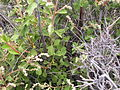 Holodiscus dumosus (4430370688).jpg