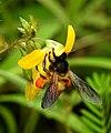 Honey Bee gathering pollen image by Dr. Raju Kasambe DSCN4801 (5).jpg