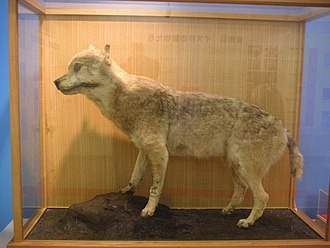 Japanese wolf - Mounted specimen in Ueno Zoo