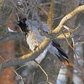 Hooded Crow 2007.jpg