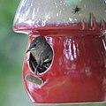 House Wrens Fledging (4880616160).jpg