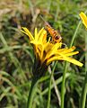 Hoverfly on a flower, Sandy, Bedfordshire (10006687626).jpg
