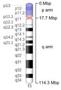 13号染色体