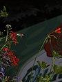 Hummingbird Hawk-moth - Taubenschwänzchen (7563826452).jpg