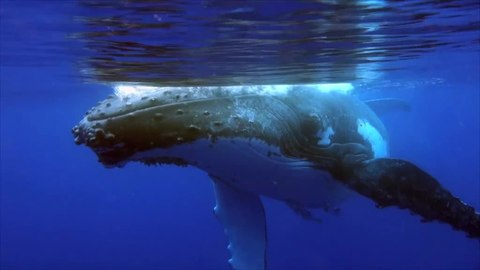 File:Humpbackwhale singing.webm