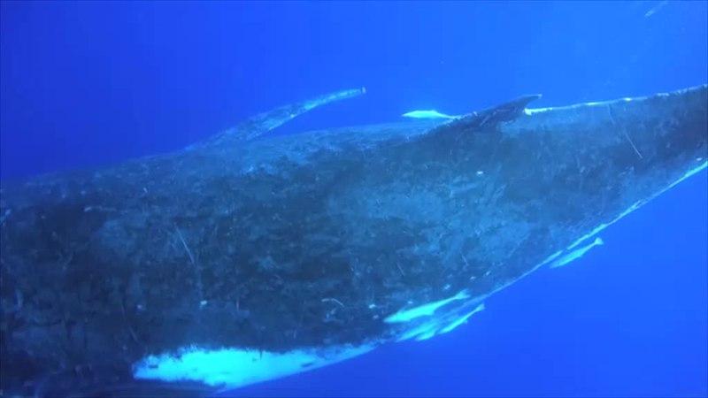 File:Humpbackwhale singing.webm