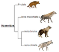 Hyaenidae phylogeny (ita).png