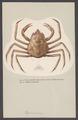 Hyas aranea - - Print - Iconographia Zoologica - Special Collections University of Amsterdam - UBAINV0274 006 01 0062.tif