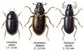 Hydraenidae2.png
