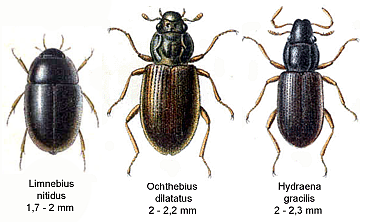 Hydraenidae2