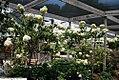 Hydrangea paniculata Grandiflora 5zz.jpg
