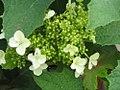 Hydrangea quercifolia Pee Wee 2zz.jpg