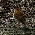 Hylocichla mustelina -Central Park, New York, USA-8 (1).jpg