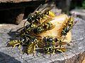 Hymenoptera herilased kommi kallal majustamas estonia.JPG