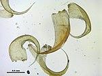 Hypnum bambergeri (b, 145603-473010) 3330.JPG