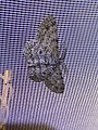 Hypomecis punctinalis 78414108.jpg