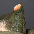 IMG 3415-Ariocarpus retusus.jpg