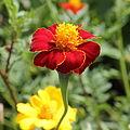IMG 7395-Asteraceae sp..jpg
