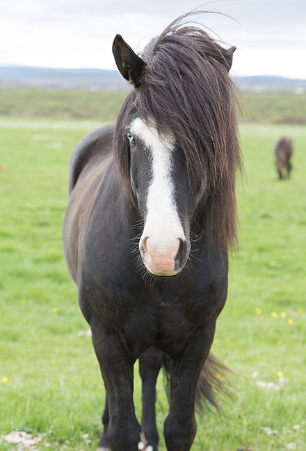 Icelandic Horse with blue eyes - Iceland