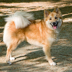 Sheep dog - An Icelandic Sheepdog.