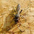 Ichneumoninae female - Flickr - gailhampshire (2).jpg