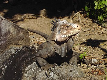 Wild Iguana delicatissima, Lesser Antillean Iguana at Coulibistrie, Dominica, W.I.