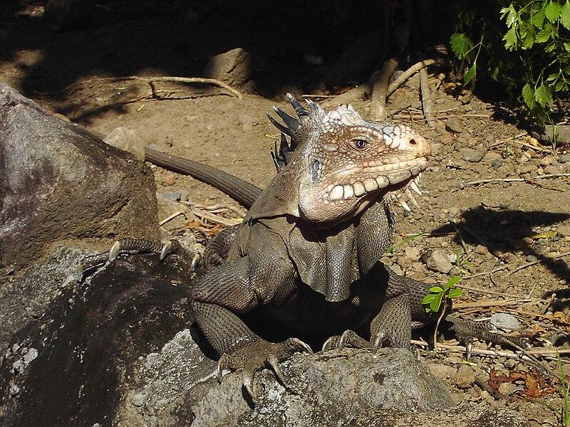 http://upload.wikimedia.org/wikipedia/commons/thumb/7/74/Iguana_delicatissima.jpg/800px-Iguana_delicatissima.jpg