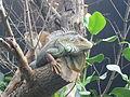 Iguana iguana, Zoo de Vincennes 08.JPG
