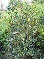 Ilex aquifolium Siberia Limsi 3zz.jpg