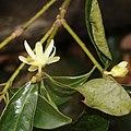 Illicium anisatum (flower s11).jpg