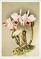 Illustration from Reichenbachia Orchids by Frederick Sander, digitally enhanced by rawpixel-com 130.jpg