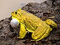 Indian Bull Frog.jpg