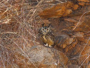 Indian Eagle Owl-2946.jpg