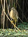 Indian Pond Heron (Ardeola grayii) (32773782030).jpg