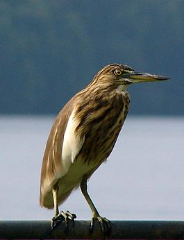 Indian Pond Heron in Sri Lanka.jpg